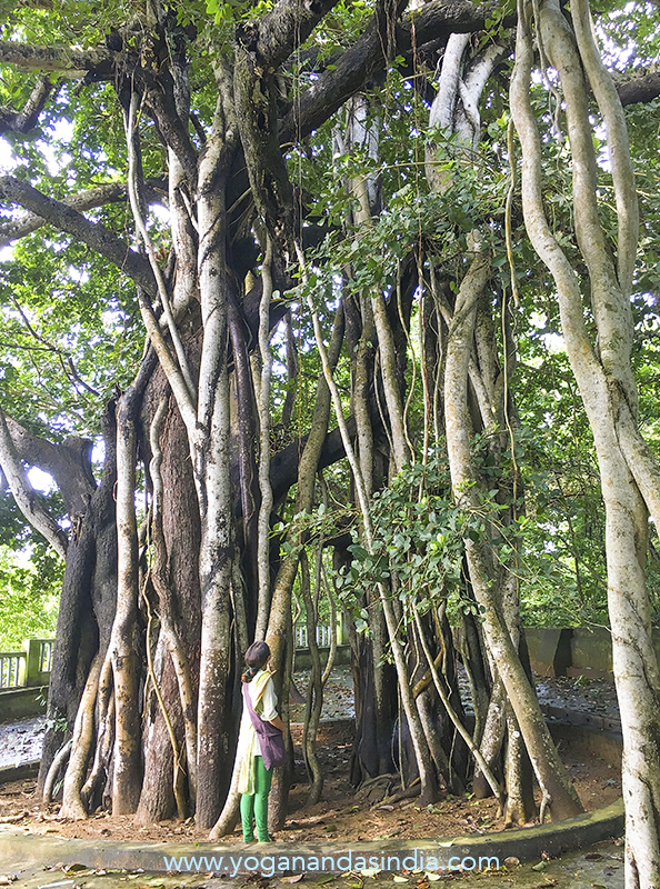 The magnificent banyan tree, at the rear of the ashram buildings, where Totapuri Baba used to meditate. When visitors would enquire about his age he would point at this tree, meaning that he was as old as the banyan. The ashram was built after Totapuriji's physical demise.