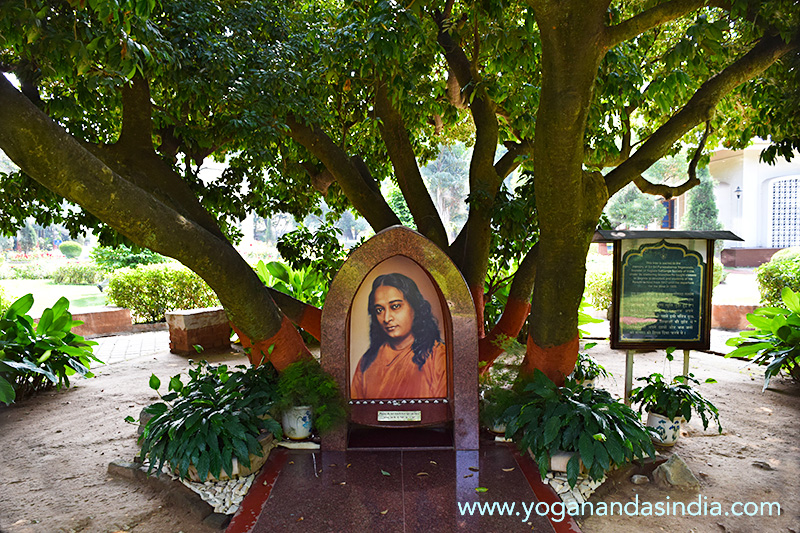 Paramahansa Yogananda believed in educating the children outdoors in fresh air and sunshine. The tree has been recognized as a unique variety and named Litchi Cultivar Yogananda Selection.